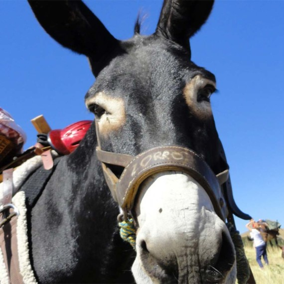 Hiking with mules and donkeys